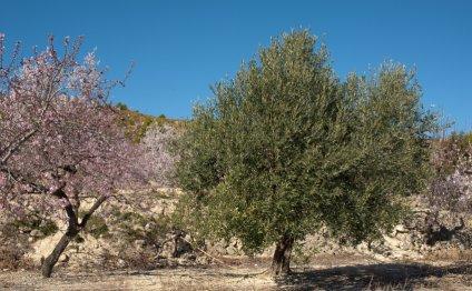 13th-Century Olives