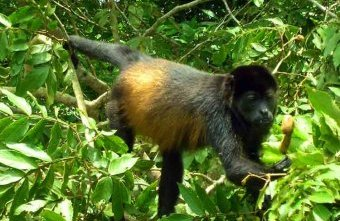Howler monkeys are among Nicaragua's wildlife highlights. Image by Richie Diesterheft. CC BY 2.0.